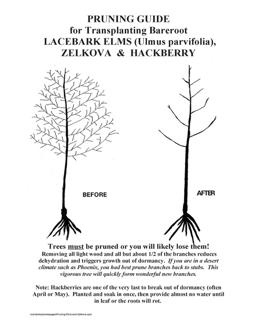 Pruning Elms, Hackberries and Zelkova