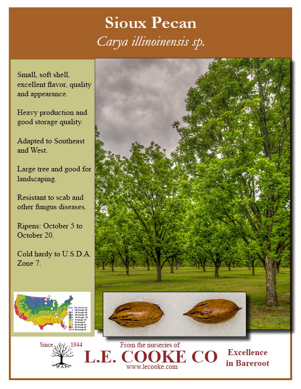 pecan tree essay Pecan trees are native to the united states, and writing about the pecan tree goes back to the nation's founders thomas jefferson planted pecan trees.