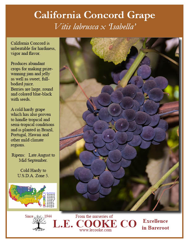 Table Grape Vines Point Of Flyers