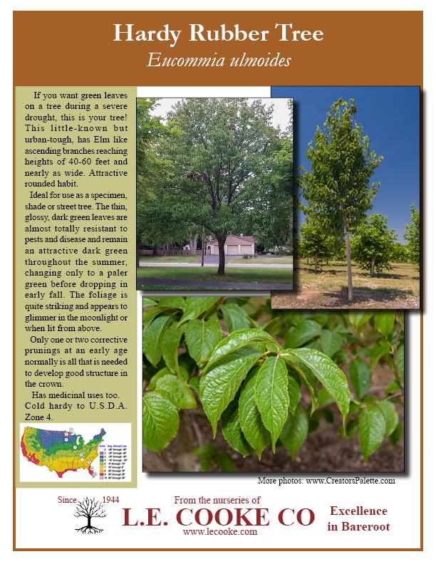 Eucommia Ulmoides Hardy Rubber Tree