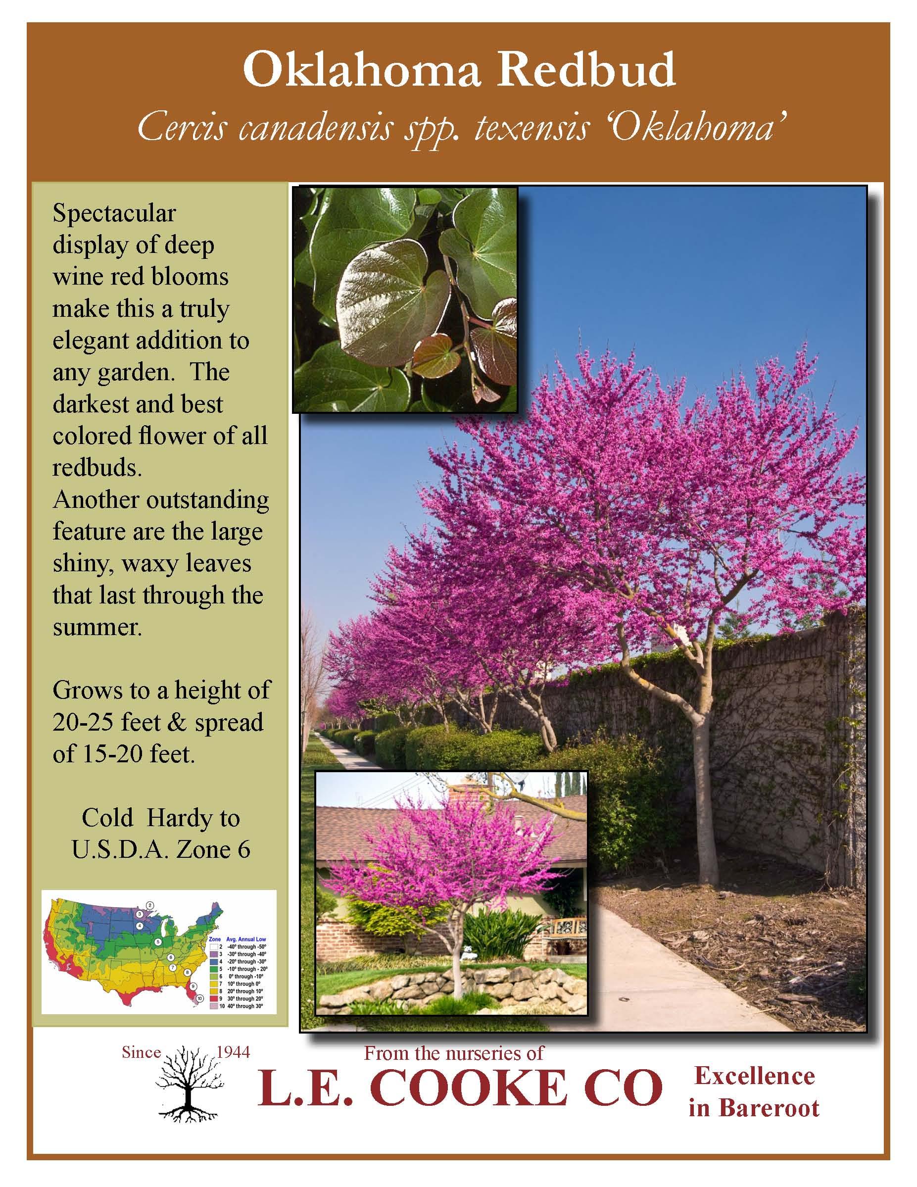 Oklahoma Redbud Cercis Canadensis Spp Texensis