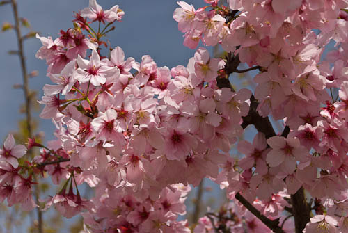 Pink Cloud Flowering Cherries