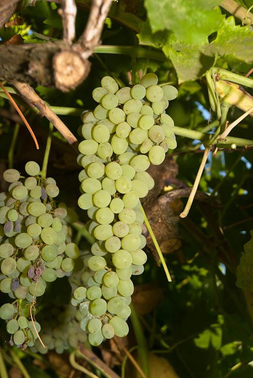Ladyfinger vs thompson seedless grapes - Seedless grape cultivars ...