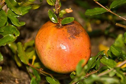 Pomegranates In Zone 7