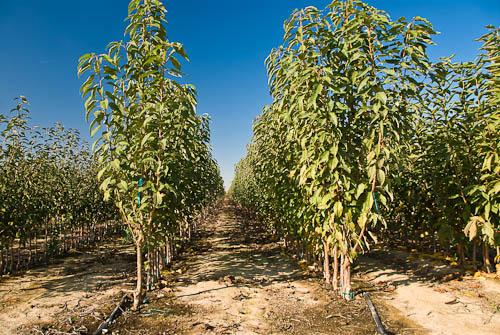 Field Walk Finished Fruit Trees
