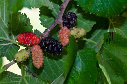 Persian Amp Black Beauty Fruiting Mulberries