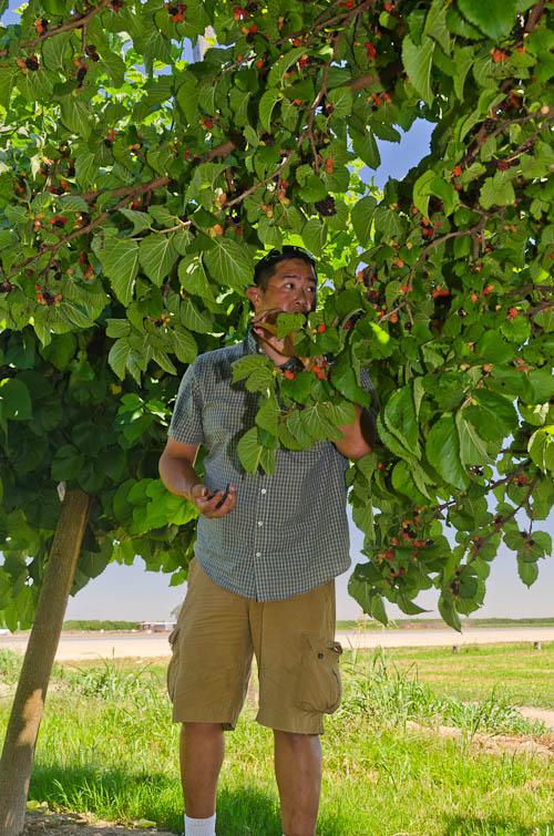 Persian Black Beauty Fruiting Mulberries