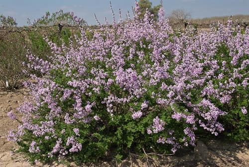 Persian Laceleaf Lilac Hot Climates